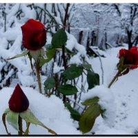 розы и  снег. :: Ivana