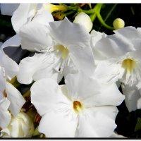цветы. :: Ivana