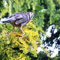 Cattlebird :: чудинова ольга