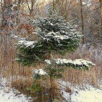В лесу родилась ёлочка... :: Маргарита Батырева