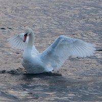 море и лебеди 3 :: Игорь Гарагуля