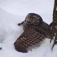 Сычик на снегу :: Константин Ординарцев