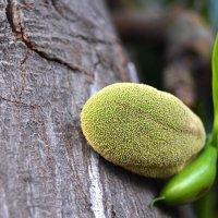 Плод индийского хлебного дерева (начало) :: Оксана Шрикантх