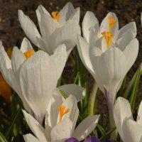 Весна идет !!! :: Светлана Ларионова