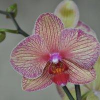 орхидея :: Владимир