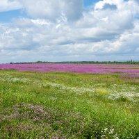 Необъятные розовые поля иван-чая :: Наталья Верхотурова