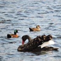 Black swan :: чудинова ольга