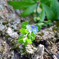 Лазоревые цветики небесной красоты :: Nina Streapan