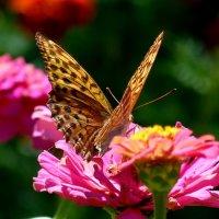 флористка - полевая перламутровка :: Александр Прокудин