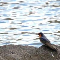 Barn swallow :: чудинова ольга