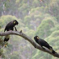 Yellow-Tailed Black Cockatoo :: чудинова ольга