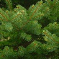 Вечнозеленые... :: татьяна