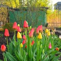 Тюльпаны ! :: Светлана Ларионова