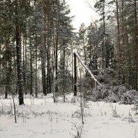 Сосна, не выдержавшая ураганного ветра :: Милешкин Владимир Алексеевич