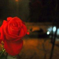 Нежный запах зимней розы. :: Валентина ツ ღ✿ღ