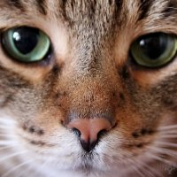 cat's eyes :: Sergey Ganja