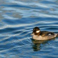 Самка гоголя-головастика (ныряющая утка) в оз.Онтарио (Канада) :: Юрий Поляков