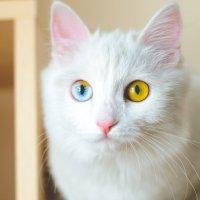 Милая и гривая кошечка по имени Мей с разноцветными глазами :: Сергей Алексеев