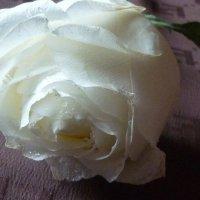 Зимняя роза :: Татьяна Юрасова