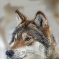 Волк :: Виктор Шпаков