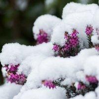 Цветы под снегом :: Alena Nuke