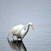Great Egret :: чудинова ольга