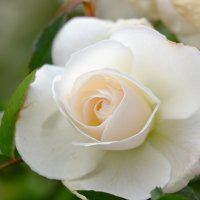 Белая роза :: Александр Деревяшкин