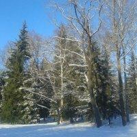 Зимний лес :: Сапсан
