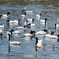 Black-necked Swan :: чудинова ольга