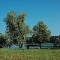 Деревья на берегу Обского водохранилища :: Дмитрий Конев