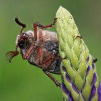 Майский жук :: Татьяна Панчешная