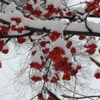 зимняя рябина :: Наташа Пасакас