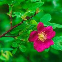 Дикая роза :: Дмитрий Костоусов