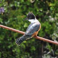 Ringed Kingfisher :: чудинова ольга