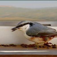 поползень дома :: linnud