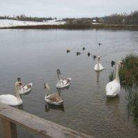 Озеро с лебедями в Изборске. :: Татьяна