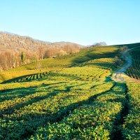 Чайные плантации :: Наталья