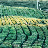 Чайные плантации. Мацеста :: Наталья