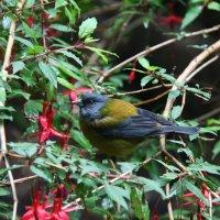 Patagonian Sierra-Finch :: чудинова ольга