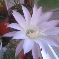 Echinopsis :: Galaelina