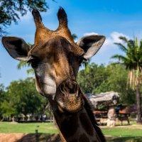 Привет, меня зовут Жираф... :: Виктор Льготин