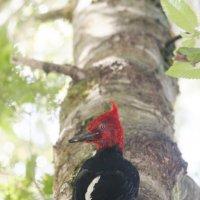 Magellanic Woodrecker, male :: чудинова ольга