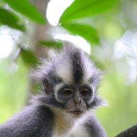 Манки - панки с Суматры :: Юрий Белоусов