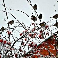 Зима, шиповник и воробьи. :: Михаил Столяров