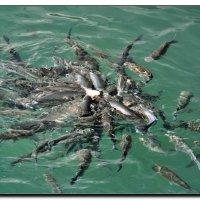 Рыбный пир. :: Leonid Korenfeld