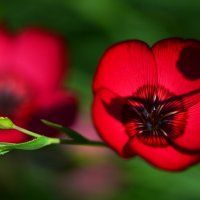 Красный лен :: Татьяна Соловьева