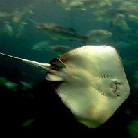 морской обитатель, электрический скат :: elena manas