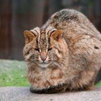 Амурский дикий кот :: Лада