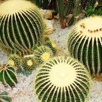 Кактусы. Никитский ботанический сад. :: Любовь К.