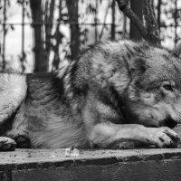 волк грызет лед :: Лада